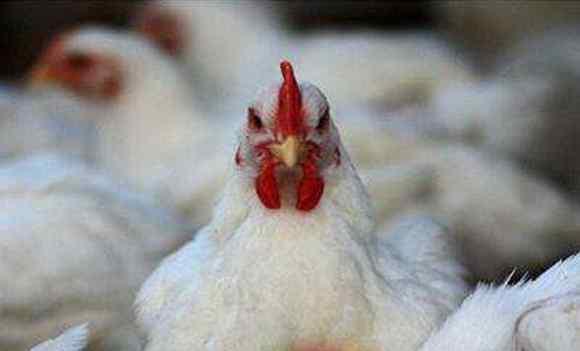 白羽鸡 白羽鸡42天出栏,你还在质疑有问题吗?
