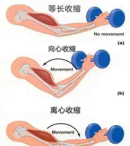 等张收缩 何谓肌肉的等张收缩与等长收缩 ()