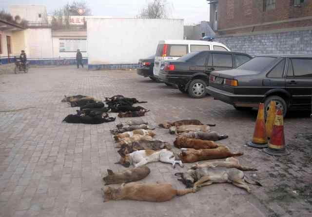 毒狗药异烟肼 遭遇毒狗药异烟肼中毒的狗,在仅有15分钟的抢救时间里记住用它
