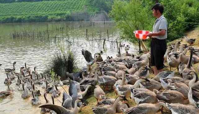 肉鸭养殖 肉鸭养殖过程中常见的六个问题 送给养鸭人